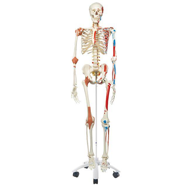 3B Scientific Skelett Sam A13 - Luxusversion auf Metallstativ mit 5 Rollen - Bild 1