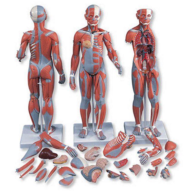 3B Scientific Muskelfigur, zweigeschlechtig mit inneren Organen, 33-teilig B55 - Bild 1