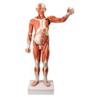 3B Scientific Lebensgroße männliche Muskelfigur, 37-teiligVA01 - Bild 1