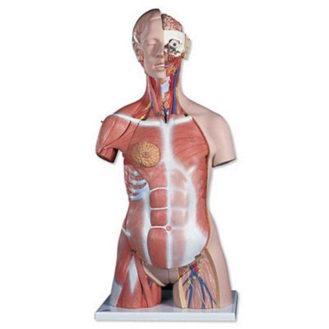 3B Scientific Zweigeschlechtiger Luxus-Muskel-Torso, 31-teilig B40 - Bild 1