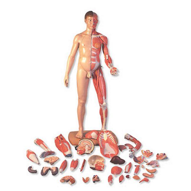 3B Scientific Lebensgroße zweigeschlechtige Muskelfigur, asiatisch, 39-teilig B52 - Bild 1