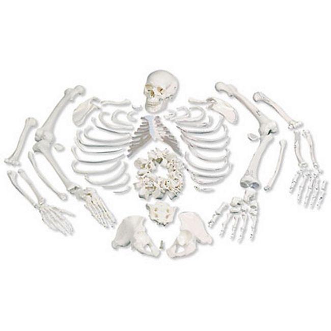 3B Scientific Skelett, unmontiert, komplett mit 3-teiligem Schädel A05/1 - Bild 1