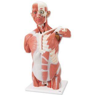 3B Scientific Lebensgroßer Muskel-Torso, 27-teilig VA16 - Bild 1