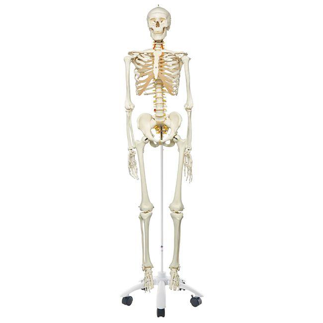3B Scientific Skelett Fred A15, das flexible Skelett auf Metallstativ mit 5 Rollen - Bild 1