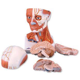 3B Scientific Muskelkopf, 5-teilig C05 - Bild 1