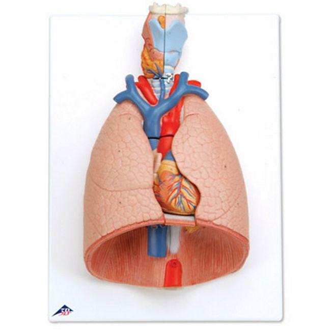 3B Scientific Lunge mit Kehlkopf, 7-teilig G15 - Bild 1