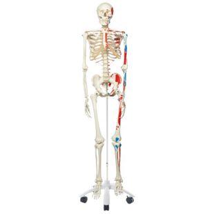 3B Scientific Skelett Max A11 mit Muskeldarstellung, auf Metallstativ mit 5 Rollen - Bild 1