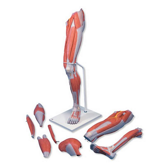 3B Scientific Muskelbein, 7-teilig M21 - Bild 1