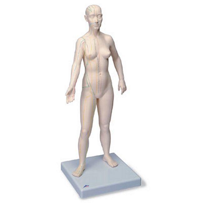3B Scientific Akupunktur-Figur, weiblich N31 - Bild 1