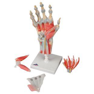 3B Scientific Modell des Handskeletts mit Bändern und Muskeln M33/1 - Bild 1