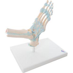 3B Scientific Modell des Fußskeletts mit Bändern M34 - Bild 1