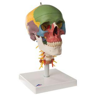 3B Scientific Didaktik-Schädel auf Halswirbelsäule, 4-teilig A20/2 - Bild 1