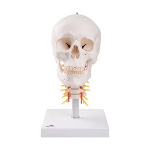 3B Scientific Klassik-Schädel auf Halswirbelsäule, 4-teilig A20/1 - Bild 1