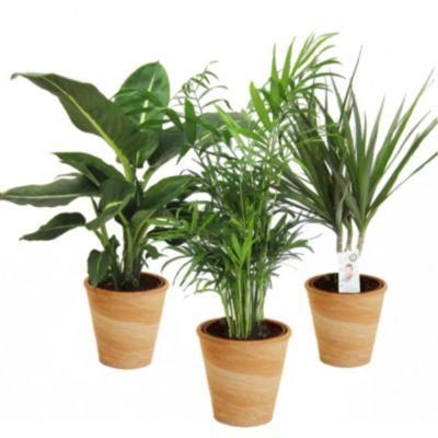 Schattenverträgliche Zimmerpflanzen zimmerpflanzen kaufen netto