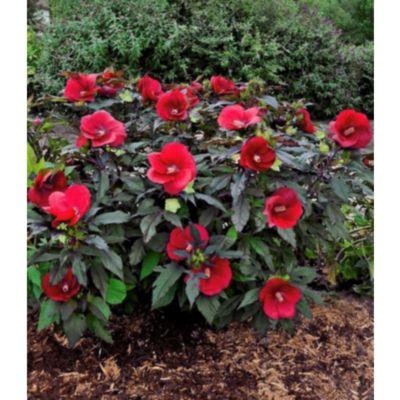Hibiskus-Staude 'Cranberry Crush®', 1 Pflanze, Hibiscus Hybride