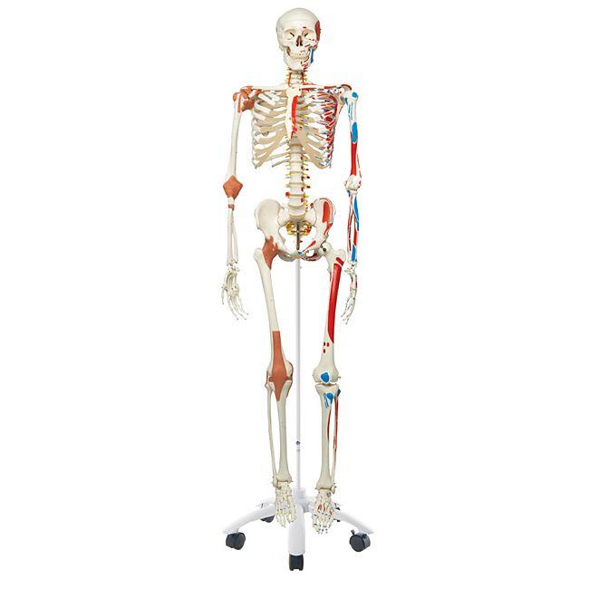 3B Scientific Skelett Sam A13 - Luxusversion auf Metallstativ mit 5 ...