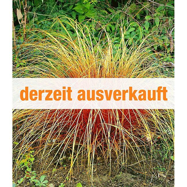 Carex \'Bronze Reflection\' Segge, 3 Pflanzen günstig online kaufen ...