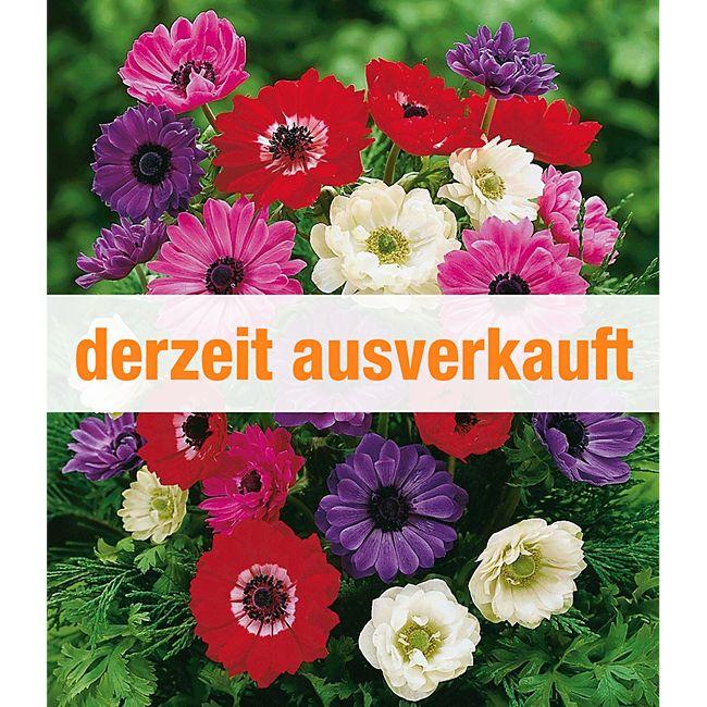 gef llte anemonen 39 brigid mischung 39 25 zwiebeln anemone coronaria g nstig online kaufen. Black Bedroom Furniture Sets. Home Design Ideas